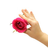 Hand with flower. Manicured fingers holding rose on white Stock Image