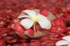 Hand with flower. Hand holding a flower and petals Royalty Free Stock Photo