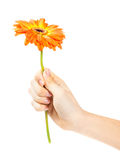 Hand with a flower on white background Stock Photography