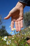 Hand and flowers of daisies Stock Images