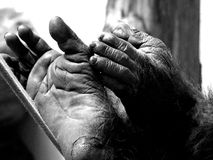 Hand and foot. Of a chimpanzee royalty free stock image