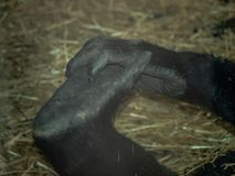 Hand and Foot of a Western Lowland Gorilla stock images