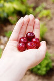 Hand with fresh cherries Royalty Free Stock Image