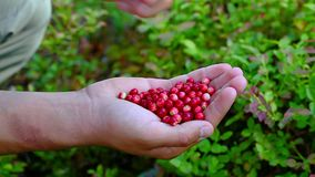 Hand with fresh cranberries stock footage