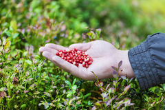 Hand with fresh cranberries Royalty Free Stock Image