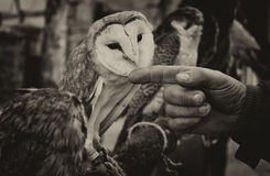 Hand Friend. Breeder pampers a white owl before using it in a show of falconry hunting Royalty Free Stock Image