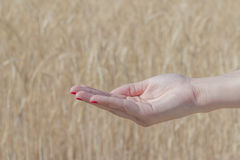 Hand in front of a wheat field Royalty Free Stock Images