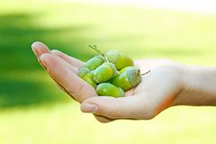 Hand full of acorns Stock Image