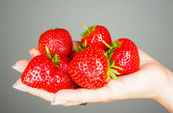 Hand full of big red fresh ripe strawberries towards gray. Hand full of big red fresh ripe strawberries isolated towards gray colored backdrop Stock Photos
