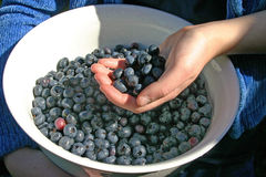 Hand Full of Blueberries Stock Image