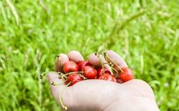 Hand full of cherries Royalty Free Stock Photo