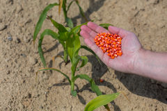 Hand full of corn seeds royalty free stock photos