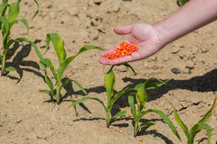 Hand full of corn seeds Royalty Free Stock Image