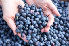 Hand full of fresh picked blueberries Royalty Free Stock Images