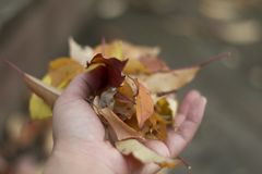 Hand full leaves in Falls Royalty Free Stock Image