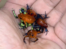 Hand full of poison dart frogs Stock Image