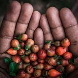 a Hand full of Pomegranate Flowers royalty free stock images