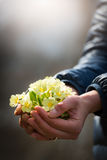 Hand full of primroses Royalty Free Stock Image