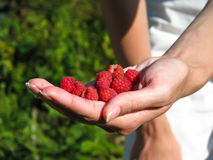 Hand, full of raspberries Stock Image