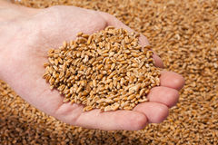 Hand full of ripe wheat seeds Stock Photos