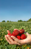Hand full of strawberries. Handpicked strawberries just before midsummer Royalty Free Stock Photos
