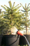 Hand garden hose with a water sprayer, watering the coniferous plants in the nursery Stock Image