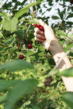 Hand in  garden picks up cherries Royalty Free Stock Photos