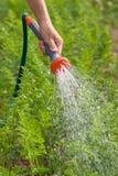 Hand of gardener watering carrot with garden hose. In the garden stock photo