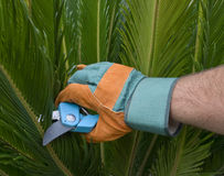 Hand in Gardening Globe Pruning a Palm Tree. A hand of a man with gardening gloves holding a pair of scissors, with a palm tree in the background Royalty Free Stock Photography