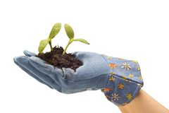 Hand With Gardening Glove and Baby Plants Royalty Free Stock Image