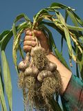 Hand with garlic Stock Photos