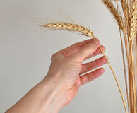 Hand gather ear. Closeup of hand that gather ear of corn royalty free stock images
