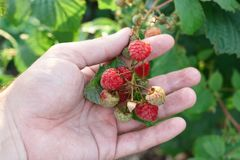 Hand gather raspberries on a bush. Close up of raspberry cane. Summer garden in village. Growing berries harvest at farm stock photo
