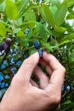 Hand gathering berries honeysuckle, closeup Stock Image