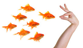Hand gesturing towards a group of goldfish Royalty Free Stock Photography
