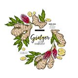 Hand getrokken gemberwortel en bladeren Gegraveerde gekleurde vectorbanner Het pakketontwerp van de voedselspecerij temoplate Voe stock illustratie