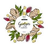 Hand getrokken gemberwortel en bladeren Gegraveerde gekleurde vectorbanner Het pakketontwerp van de voedselspecerij temoplate Voe royalty-vrije illustratie