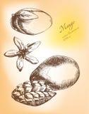 Hand getrokken geplaatste mangovruchten Stock Foto's