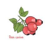 Hand getrokken illustratie van rosa caninaheupen Stock Afbeeldingen