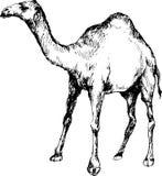 Hand getrokken kameel Royalty-vrije Stock Afbeeldingen