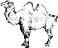 Hand getrokken kameel Royalty-vrije Stock Afbeelding