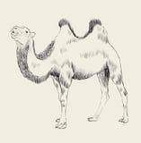 Hand getrokken kameel Royalty-vrije Stock Foto's