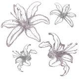 Hand getrokken liliumbloemen, vectorillustratie Royalty-vrije Stock Fotografie