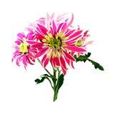 Hand getrokken roze chrysantentak op witte achtergrond Stock Foto's