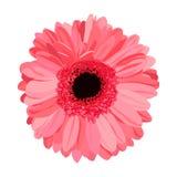 Hand getrokken roze gerbera Royalty-vrije Stock Fotografie