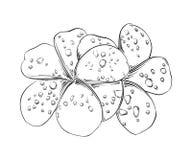 Hand getrokken schets van frangipani Thaise die bloem in zwarte op witte achtergrond wordt geïsoleerd De gedetailleerde uitsteken vector illustratie