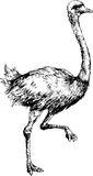 Hand getrokken struisvogel Royalty-vrije Stock Foto