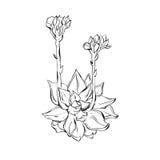 Hand getrokken vector grafische inktschets van succulente die installatie op witte achtergrond wordt geïsoleerd Ontwerpelement vo Stock Afbeelding