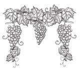 Hand getrokken vectorillustratie van takdruiven Wijnstokschets op witte achtergrond wordt geïsoleerd die Royalty-vrije Stock Foto