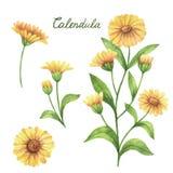 Hand getrokken waterverf vector botanische illustratie van calendula, goudsbloem royalty-vrije illustratie